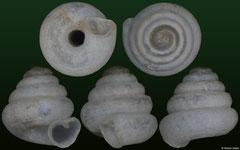 Angustopila sp nov (Thailand, 1,1mm) (paratype)