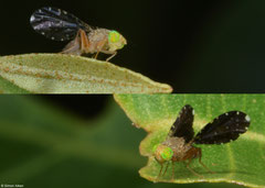 Fruit fly (Tephritidae sp.), Kampot, Cambodia