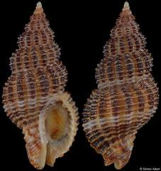 Monostiolum nigricostatum (Pacific Panama, 21,4mm)