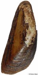 Solenaia triangularis (China, 62mm)
