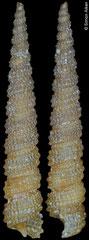 Clathropsis lorenzinii (Philippines, 8,7mm) F++ €24.00