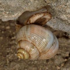 Tropidophora microchasma (Miary, Madagascar)