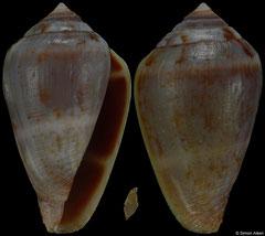 Conus guanche (Canary Islands, 24,4mm) F++ €15.00