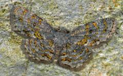Geometer moth (Geometridae sp.), Lakxao, Bolikhamsai Province, Laos