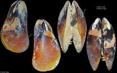 Bathymodiolus platifrons (Okinawa Trough, 59,0mm)