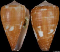 Conus marckeppensi (Cape Verde, 17,7mm)