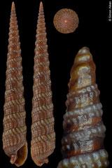 Terebra anilis (Philippines, 31,2mm) F+++ €2.50