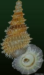 Xenopoma spinosissimum (Cuba, 13,1mm)