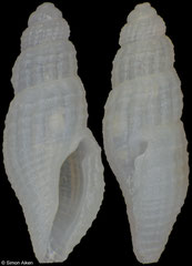 Paraclathurella gracilenta (Philippines, 4,5mm)
