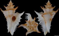 Favartia perita (Pacific Panama, 23,8mm)