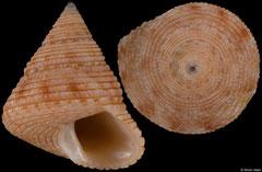 Dactylastele burnupi (South Africa, 10,7mm)