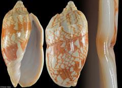 Cymbiola vespertilio (Philippines, 100,9mm)