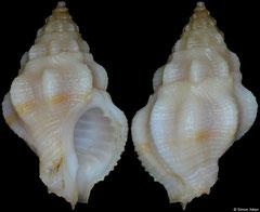 Attiliosa goreensis (Senegal, 17,3mm)