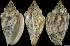 Glabella pseudofaba (Senegal, 34,7mm)