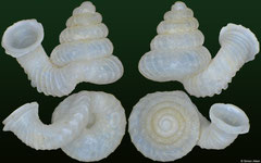 Opisthostoma lissopleuron bigibbum (Malaysia, 2,4mm) (paratype)