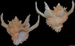 Babelomurex purpuratus (Philippines, 23,5mm)