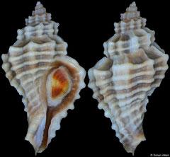 Eupleura tampaensis (Florida, USA, 21,6mm