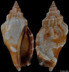 Canarium erythrinum (Philippines, 26,1mm) F+++ €2.80