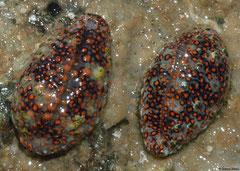 Jenneria pustulata (Cebaco Island, Pacific Panama)