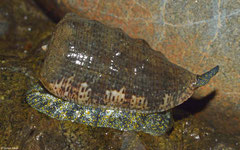 Morum tuberculosum (Cebaco Island, Pacific Panama)
