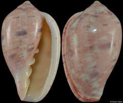 Marginella senegalensis (Senegal, 31,2mm)