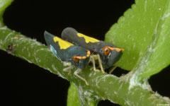 Leafhoppers (Cicadellidae sp.), Balut Island, Philippines