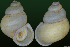 Colobostylus bronnii (Jamaica, 14,0mm) F++ €7.50 (specimens for sale are 14-15mm and are of the same quality as the specimen illustrated)