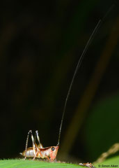 Katydid (Tettigoniidea sp.) nymph, Balut Island, Philippines
