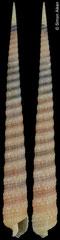 Terebra insalli (South Africa, 72,4mm)
