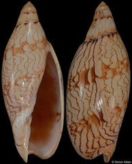 Amoria damonii form 'keatsiana' (Queensland, Australia, 96,5mm)