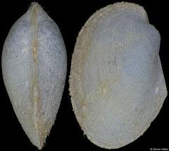 Bathyarca philippiana (La Chapelle Bank, 8,1mm)