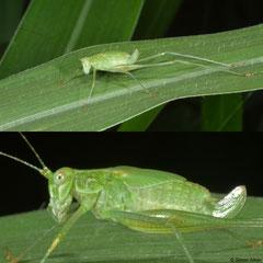 Katydid (Tettigoniidae sp.), Pacijin Island, Philippines