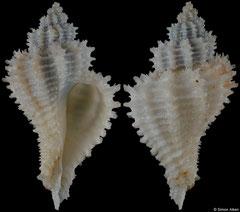 Hirtomurex oyamai (Philippines, 30,2mm)