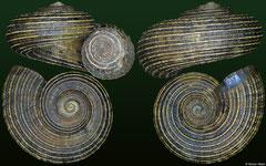 Crocidopoma floccosum (Dominican Republic, 11,7mm)