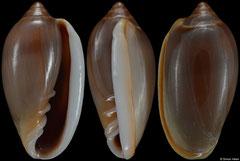 Prunum woodbridgei (Pacific Panama, 17,1mm) F+ €6.00
