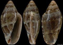 Marginella velliesi (South Africa, 15,8mm)