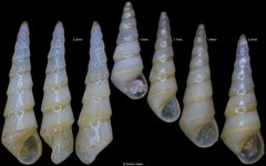 Eulimetta pagoda (Pacific Mexico) F+/F++ 2.0-2.2mm specimens €10.00, 1.5-1.9mm specimens €7.00