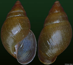 Bulimulus houelmontensis (Guadeloupe, 19,6mm)