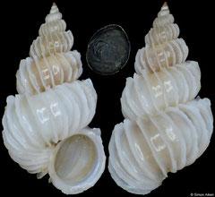 Epitonium obesum (Philippines, 10,6mm)