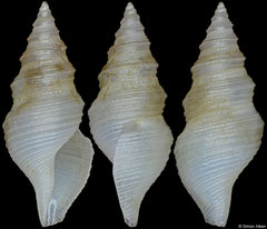 Microdrillia cf. commentica (Philippines, 6,5mm)