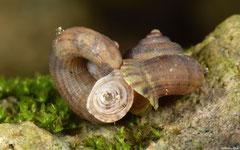 Arenabbottella wilhelmi (NW of Cabrera, Dominican Republic)