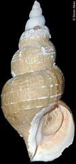 Buccinum ectomycina  (Sea of Okhotsk, Russia, 113mm)