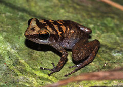 Rain frog (Eleutherodactylus sp.), Pinar del Río, Cuba