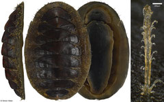 Mopalia vespertina (43,4mm, Washington, USA)