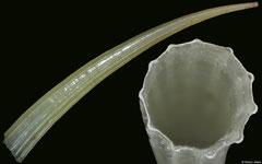 Dentalium javanum (Philippines, 30,9mm)