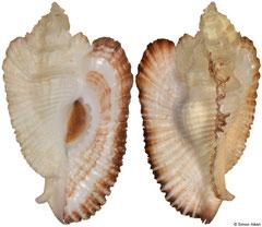 Timbellus bednalli (Western Australia, 64,1mm)