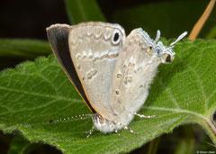 Gossamer-winged butterfly (Leptomyrina phidias), Fianarantsoa, Madagascar