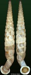 Tetrentodon perdidoensis (Cuba, 12,1mm)