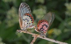 Brush-footed butterfly (Acraea ranavalona), Ifaty-Mangily, Madagascar