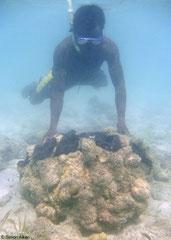Tridacna gigas (New Georgia, Solomon Islands)
